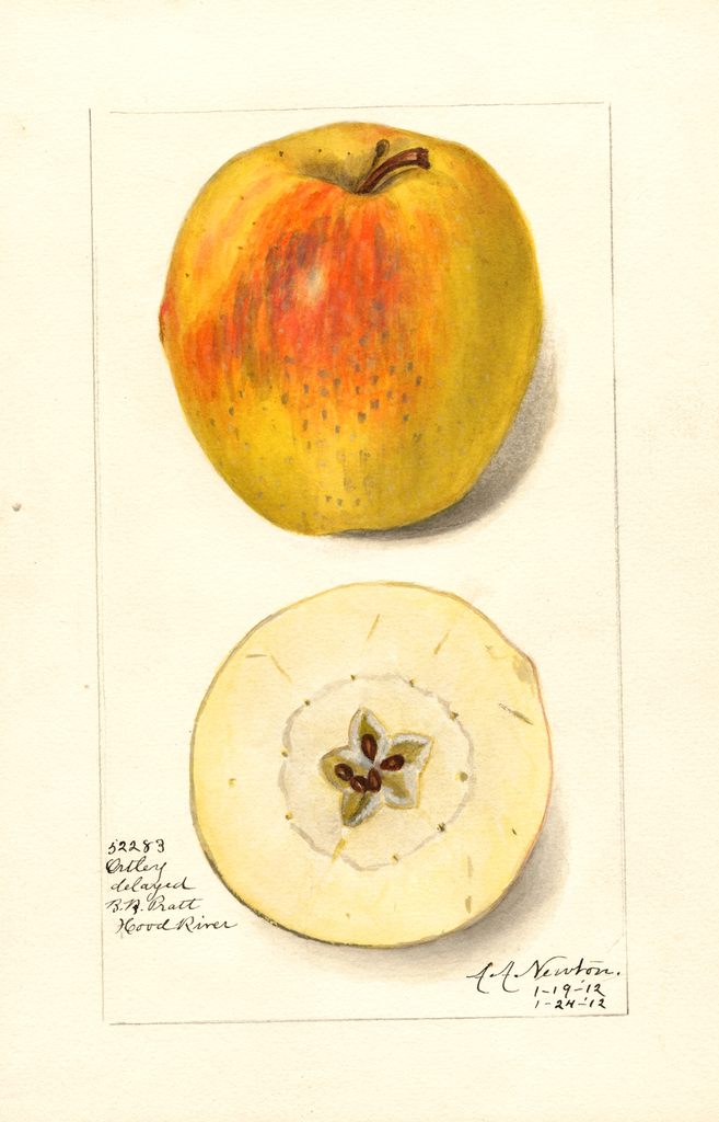 Apples, Ortley (1912)