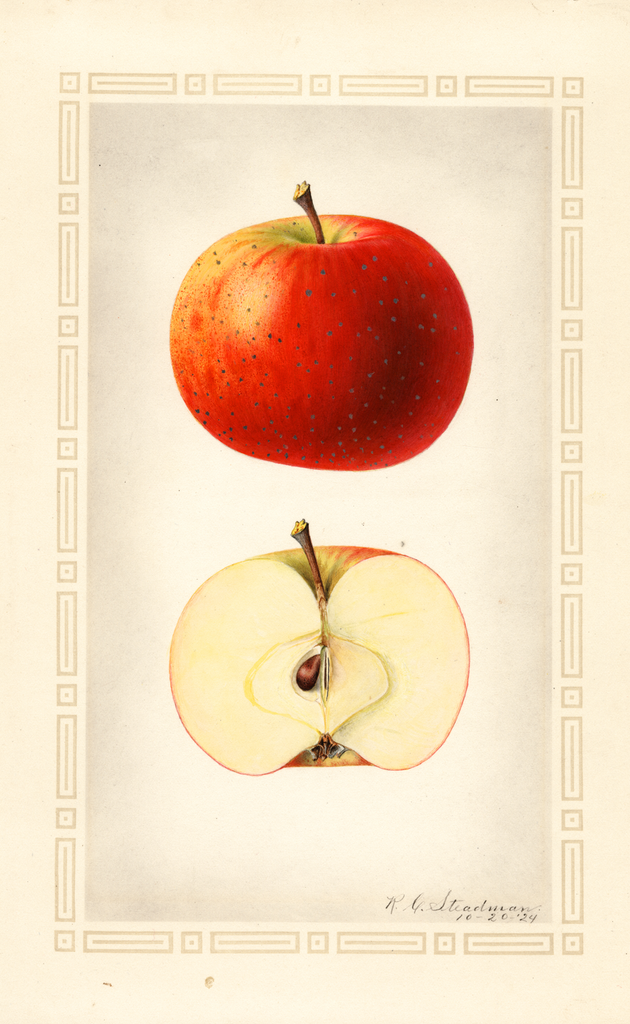 Apples, Oliver Red (1924)