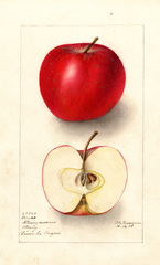 Apples, Orenco (1908)