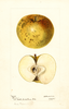 Apples, Mann (1895)
