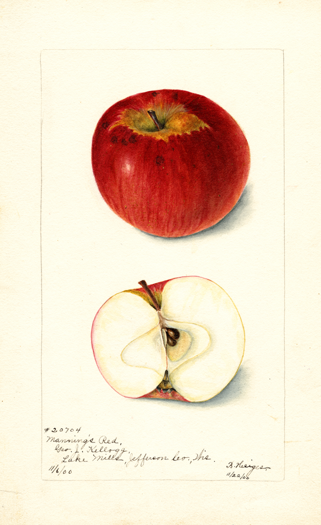 Apples, Mannings Red (1900)