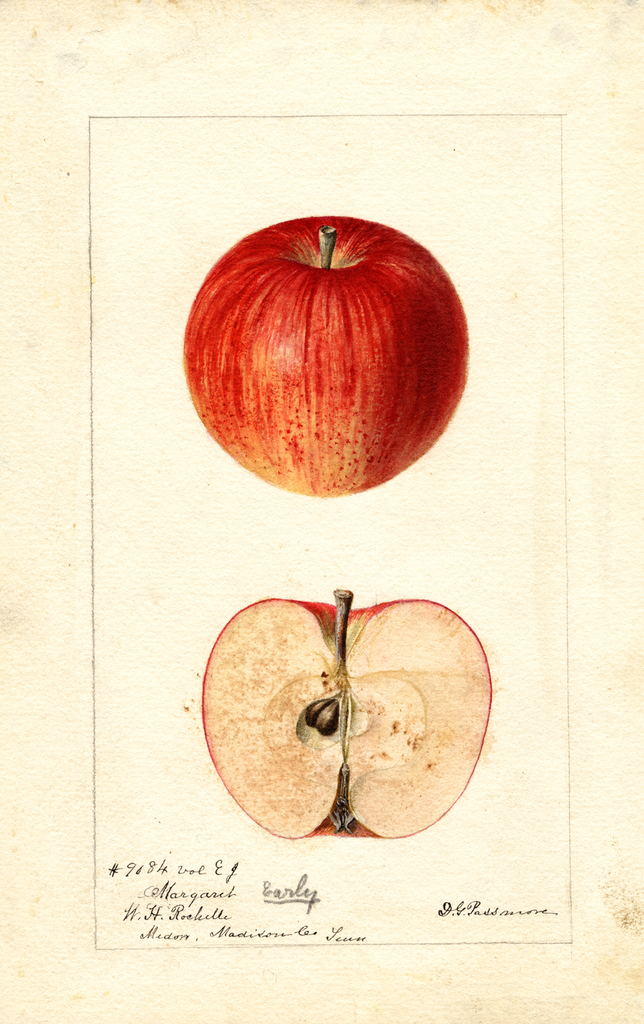 Apples, Margaret (1892)