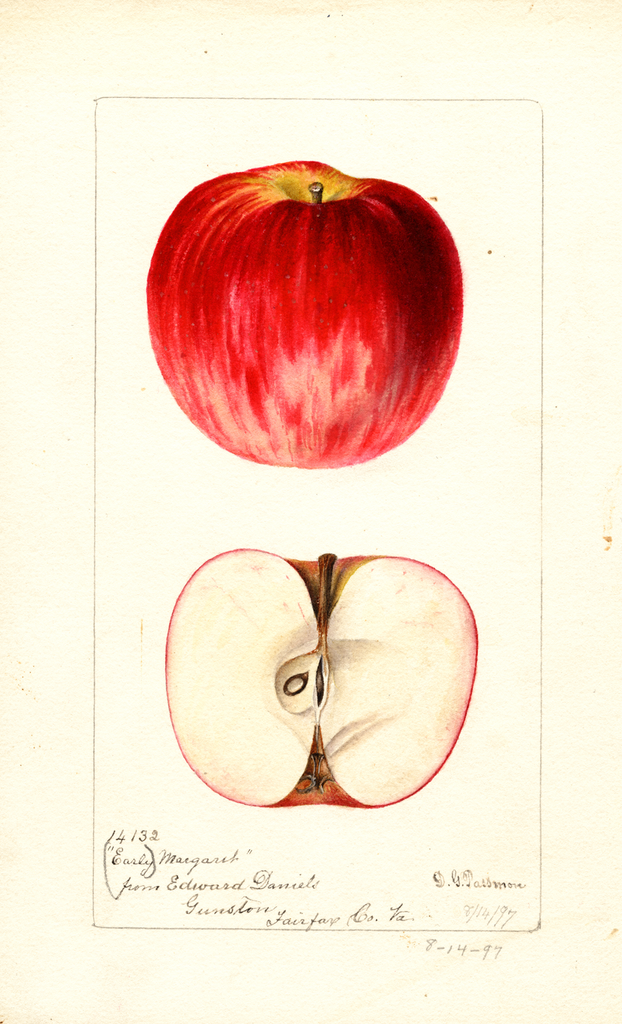 Apples, Early Margaret (1897)