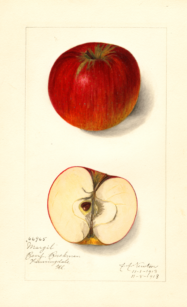Apples, Margil (1913)