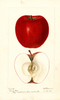 Apples, Marion Red (1895)