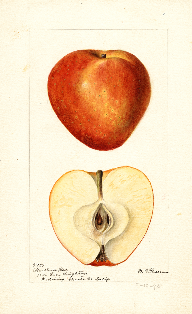 Apples, Marshall Red (1895)