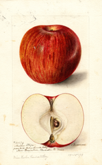 Apples, Martha Stripe (1898)