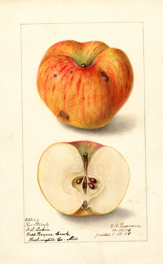 Apples, Red Streak (1905)