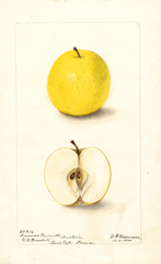 Apples, Ananas Reinette (1900)