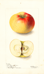 Apples, Rose Of France (1900)