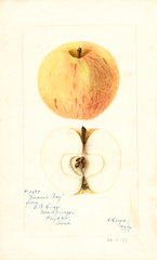 Apples, Voronesh Rosy (1897)