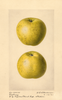 Apples, Roxbury (1921)
