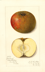 Apples, Roxbury (1913)