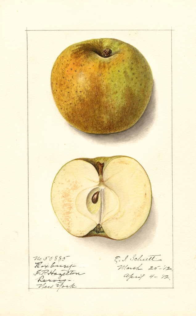 Apples, Roxbury (1912)
