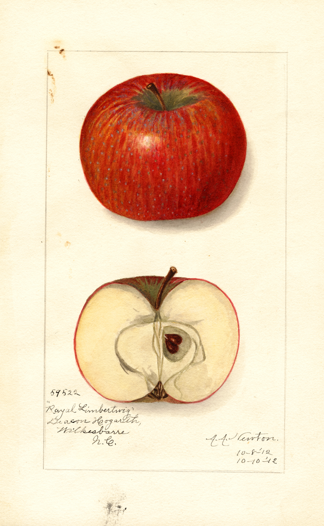 Apples, Royal Limbertwig (1912)