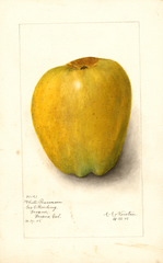 Apples, White Pearmain (1905)