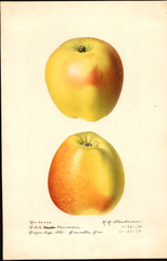 Apples, White Pearmain (1918)
