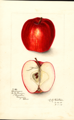 Apples, Williams (1911)
