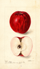 Apples, Williams Early (1899)