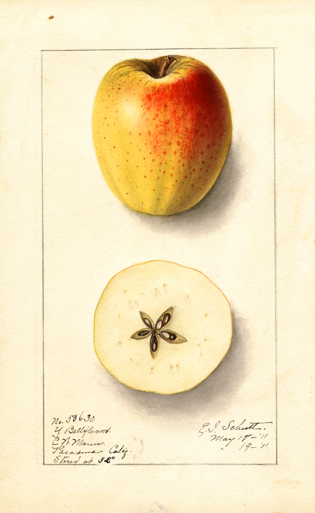 Apples, Yellow Bellflower (1911)