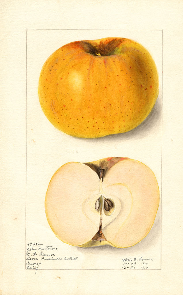 Apples, Yellow Newtown (1910)