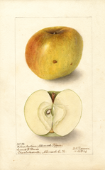 Apples, Yellow Newtown (1904)