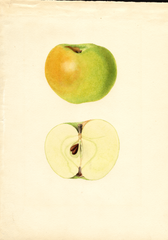 Apples, Yellow Newtown (1935)