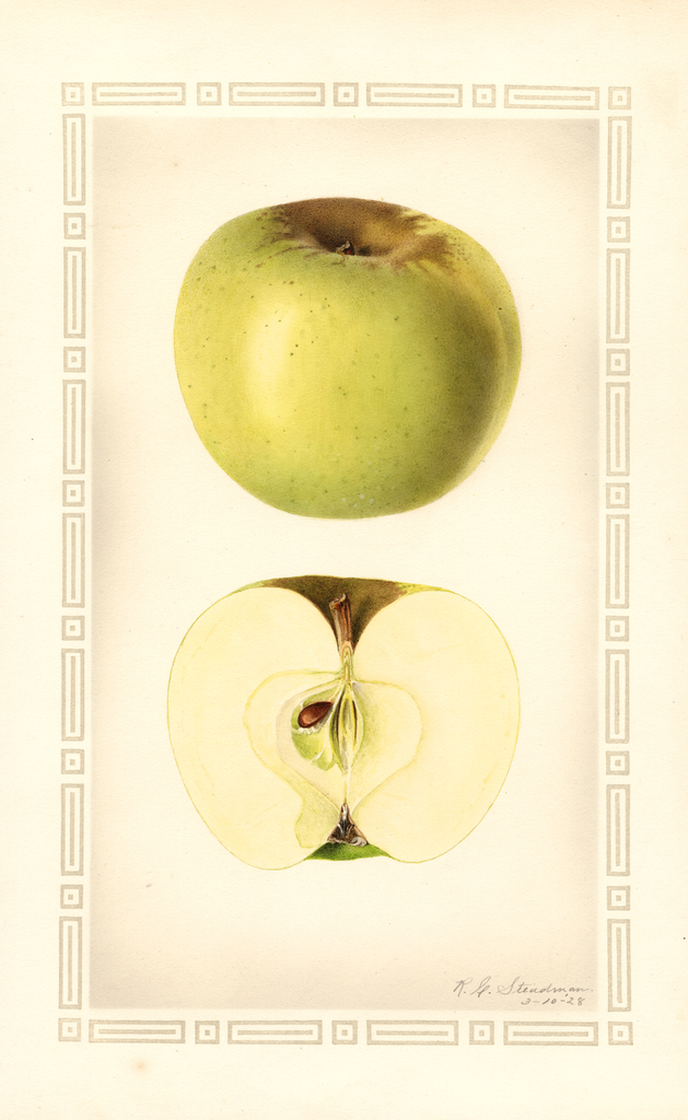 Apples, Yellow Newtown (1928)