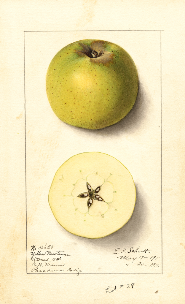 Apples, Yellow Newtown (1911)