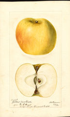 Apples, Yellow Newtown (1896)