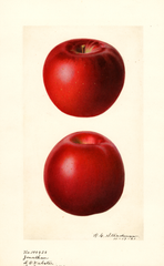 Apples, Jonathan (1921)