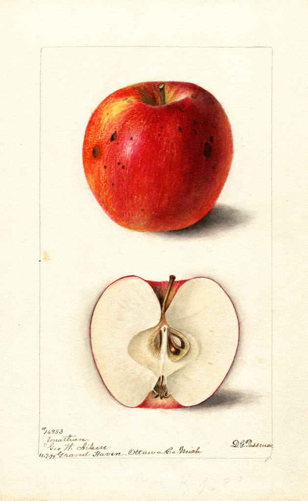 Apples, Jonathan (1899)