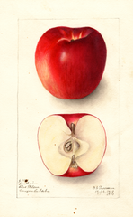 Apples, Jonathan (1909)
