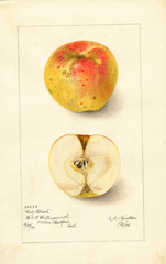 Apples, Lady Blush (1905)