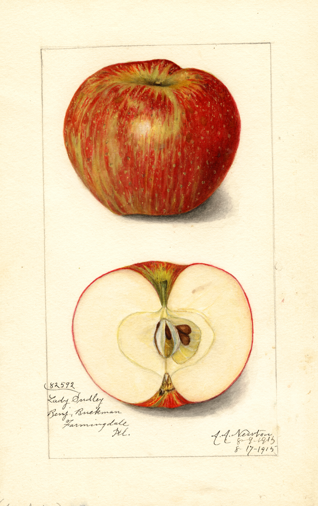 Apples, Lady Sudley (1915)