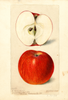 Apples, Lady Sweet (1898)