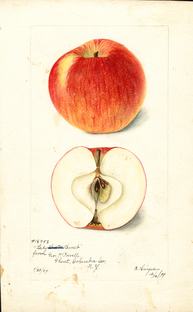 Apples, Lady Sweet (1899)