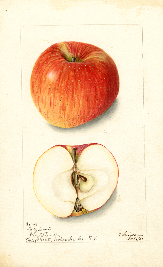 Apples, Lady Sweet (1903)