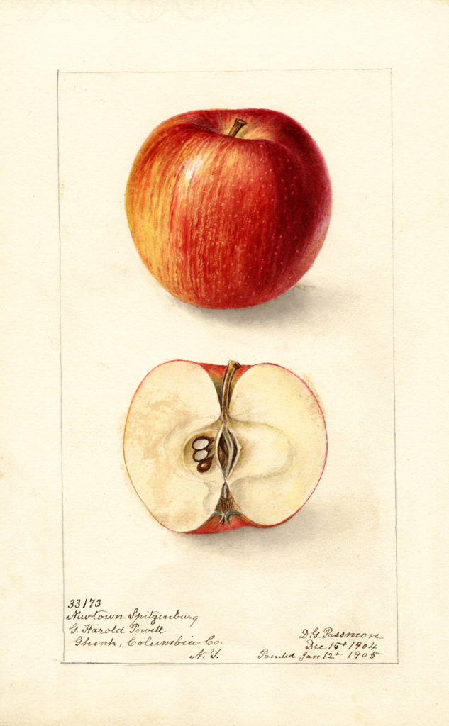Apples, Newtown Spitzenburg (1905)