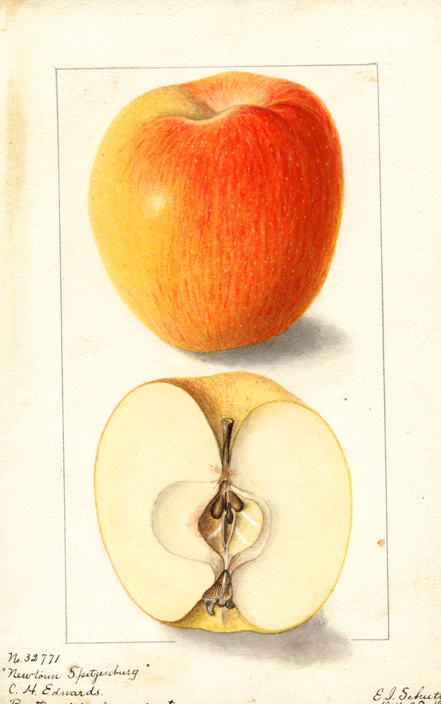 Apples, Newtown Spitzenburg (1904)