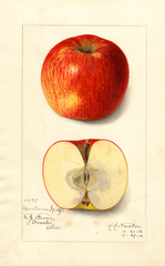 Apples, Newtown Spitzenburg (1912)