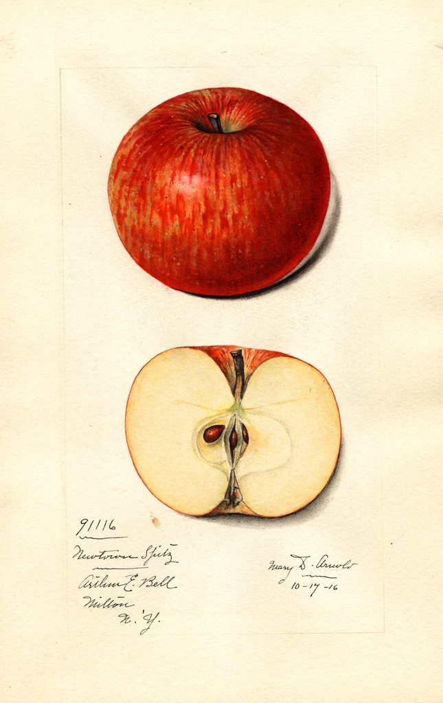 Apples, Newtown Spitzenburg (1916)
