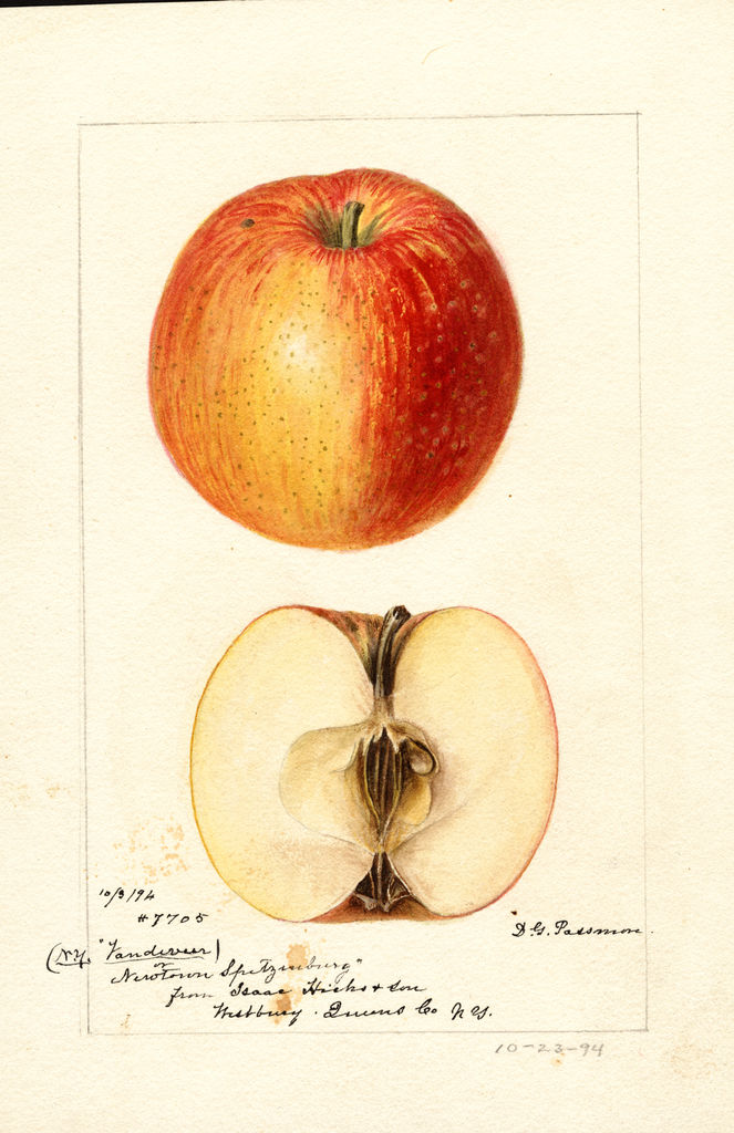 Apples, Newtown Spitzenburg (1894)
