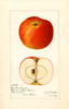 Apples, Newton Wonder (1921)