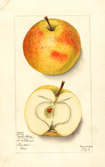 Apples, Newton Wonder (1912)