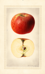 Apples, Nickajack (1923)