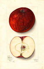 Apples, Nickajack (1912)