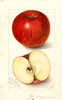 Apples, Nickajack (1907)