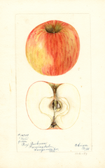 Apples, Niel (1898)