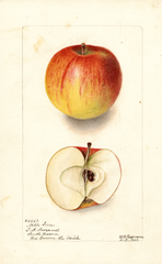 Apples, Noble Sovar (1902)